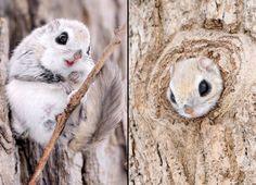 Meet the Siberian Flying Squirrel.