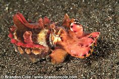 Flamboyant Cuttlefish (Metasepia pfefferi) photo by Brandon Cole.