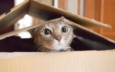 Mudança de casa pode representar um grande perigo para a vida do gato