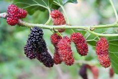 Superfood, Agriculture, Blackberry, Health Fitness, Herbs, Fruit, Garden, Nature, Garten