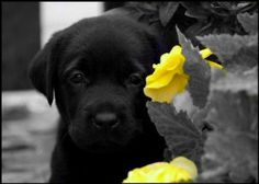 Little black lab
