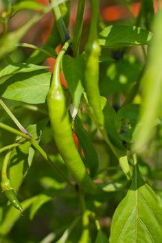 Establishing a vegetable garden