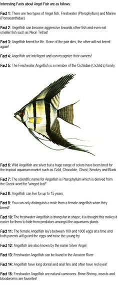 Angelfish facts for kids are coming in our education group of facts for kids to learn more about the world and the whole universe. Angelfish are one of the most popular aquarium fish, and we use them certainly to add grace and beauty to our tank. However, if we want to care of angelfish we have to know about them and their needs. Because they are not so easy to be taken care of. http://firstchildhoodeducation.blogspot.com/2013/08/angelfish-facts-for-kids.html
