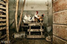 PhotoVogue, hen-house