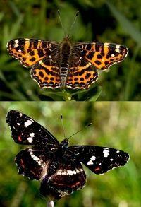 Voorjaarsvorm (boven) en zomervorm (onder) landkaartje (foto's: Kars Veling)