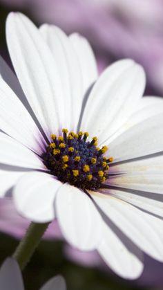 White daisy, flower, close up, pollen