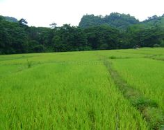 Coron ricefields.