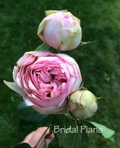 Bridal Piano Pink Garden Rose. Order David Austin roses & other fragrant garden roses @ www.parfumflowercompany.com. FedEx Shipment starts from only 24 stems throughout Europe