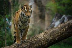 Curious, tiger, tree trunk, animal wallpaper