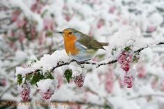 Robin on snowy flowe