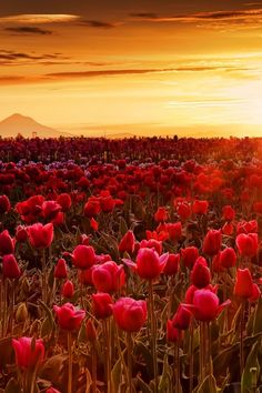 Wooden Shoe Tulip Farm, Woodburn, Oregon (this would be my heaven)