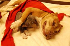 """""""Every February 19th, I have moments of sadness, as it marks the anniversary that my pit bull Daddy passed away. I still miss him terribly but when I think of all the amazing times we had together and all the great things that he taught me, I realize how lucky I was to have had him in my life for so long. And when I look in Junior's eyes, I think about the last gift Daddy gave to me."""" -Cesar Millan"""