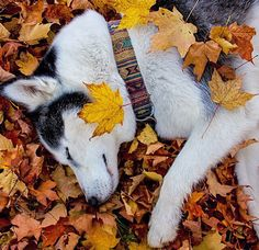 Husky sleeping on a bed of leaves