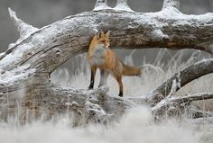 _DSC6016 Funny Animals, Cute Animals, Wild Animals, Fox Totem, Fantastic Fox, Fox Spirit, Pet Fox, Little Fox, Fox Art