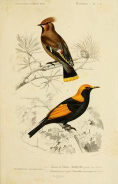 gravures couleur d'oiseaux - Gravure oiseau 0181 jaseur de boheme - bombycilla garrula - passereau - Gravures, illustrations, dessins, images