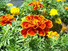 marigolds ~ I remember planting them with my mom...