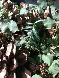 Mun parvekkeella kasvaa nyt vaahteran lisäksi myös kuusi :) #parvekepuut #parvekepuutarha Plants, Plant, Planets