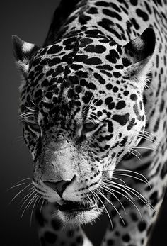 Jaguar photo #jaguar #blackandwhite #bigcat #animals #cats #spots