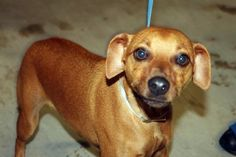 Quen: Adorable min-pin mix is out of time at high-kill upstate shelter