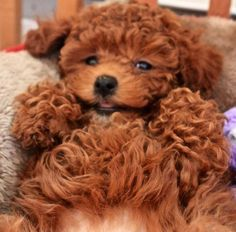 Poodle...cuddle me please
