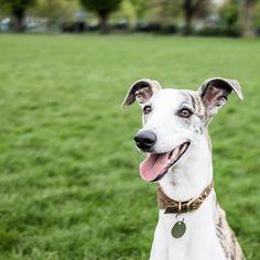 Yay! Kai wishes you all a big happy and smiley Friday everyone!   #dogsnug #dogcollar #superdog #petsofinstaworld #instapup #lurchers #londondog #puppiesofinstagram #lillove #salukis #sighthounds #Sighthound #whippet #whippets #whippetlove #whippetpuppy #ilovemydog #italiangreyhound #doglover #dogslife #dogoftheday #greyhounds #happy #greyhounds #whippetsofinstagram #lurchers #italiangreyhounds #italiangreyhoundsofinstagram #paws #smilingdog