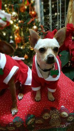 Kay Chihuahua navideño!