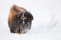 Yukon Winter   Yukon/Canada Nature & Wildlife Photography.  Bison