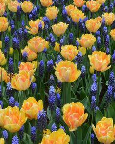 Magic Marmalade Bulb Collection | DutchGrown®