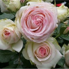 """Eden™ - Large, old fashioned, fully double 4 1/2"""", cupped blooms (petals 100). The blooms are an unusual blend of pastel pinks, creams and yellows. Vigorous bushy, well-foliaged, disease-resistant plant. A versatile repeat blooming climber ideal for many uses in the small or large garden for training on fences, trellises, walls and gazebos. Hardier than most climbers and of restrained growth. One of the finest climbers to come along in years."""
