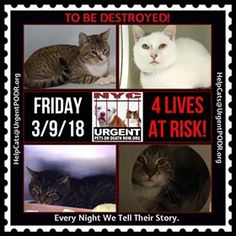 "TO BE DESTROYED 03/09/18 - - Info  Please share View tonight's list here: http://nyccats.urgentpodr.org/ tbd-cats-page/. The shelter closes at 8pm. Go to the ACC website( http:/www.nycacc.org/ PublicAtRisk.htm) ASAP to adopt a PUBLIC LIST cat (noted with a ""P"" on their profile) a… CLICK HERE FOR ADDITIONAL INFO/P&#...-  Click for info & Current Status: http://nyccats.urgentpodr.org/to-be-destroyed-03-02-18-info-urgent/"