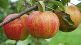 Rubinette apple/M26    The sweetly tart flavor of Rubinette, a cross between Golden Delicious and Cox's Orange Pippin, will please fans of the Cox crosses. Loads of incredibly delicious, small-medium, attractive apples, golden with red stripes, ripen in early October. The patented scab and mildew resistant Swiss cultivar is a favorite of organic growers in Europe, where it is grown commercially. We offer well rooted 2 1/2-4' trees. $23.50