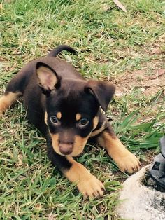 Australian Kelpie puppy. This looks like my Apollo. Oh, how I miss him.