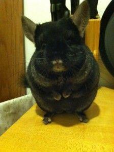 Sarah's chinchilla, Rufus!