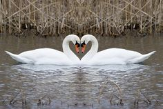 Swan Love What is this thing with hearts? Two absolutely identical images. You decide.