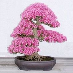 Bonsai is the art of keeping miniature trees. These are flowers bonsai tree, which look huge and great in any color.The bonsai tree is a great creature of God. Bonsai Seeds, Tree Seeds, Bonsai Plants, Indoor Bonsai, Bonsai Flowers, Potted Flowers, Pink Flowers, Plantas Bonsai, Ikebana