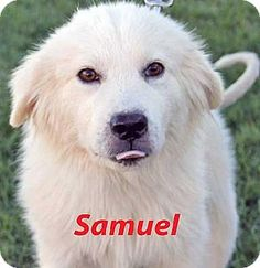 10/13/14 Beacon, NY - Great Pyrenees. Meet Samuel - new!, a dog for adoption. http://www.adoptapet.com/pet/11734354-beacon-new-york-great-pyrenees