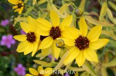 Coreopsis tripteris 'Lightning Flash' - Grows rapidly to 3 to 5 ft. tall & 3 ft. wide; up to 6 ft. tall in bloom.
