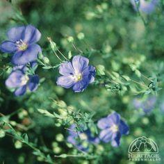 Linum perenne Blue Sapphire  Blue Flax