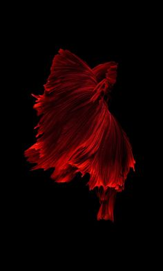√ Different Types of Betta Fish ( with Beautiful Pictures ) Fish Wallpaper, Live Wallpaper Iphone, Wallpaper Decor, Lucky Wallpaper, Animal Wallpaper, Motion Wallpapers, Live Wallpapers, Betta Fish Types, Carpe Koi