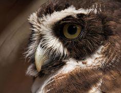 Spectacled owl - (Pulsatrix perspicillata) London Zoo Owl, London, Animals, Beautiful, Animales, Animaux, Owls, London England, Animal