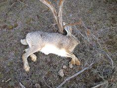 5 Rabbit Hunting Tips Hunting Calls, Hunting Tips, Hunting Season, Deer Hunting, Hunting Stuff, Coyote Hunting, Rabbit Hunting, J Birds, Hunting Backpacks