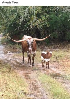 I want a longhorn really bad! Longhorn Cattle, Longhorn Cow, Farm Animals, Animals And Pets, Cute Animals, Longhorn Rind, Beautiful Creatures, Animals Beautiful, Chow Chow