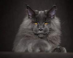 maine-coon-cat-photography-robert-sijka-48-57ad8f0e1bf97__880