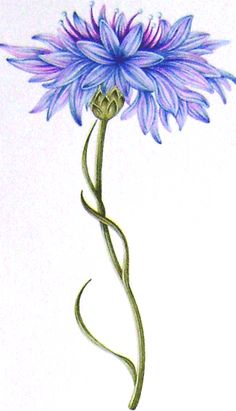 cornflowers - Google Search
