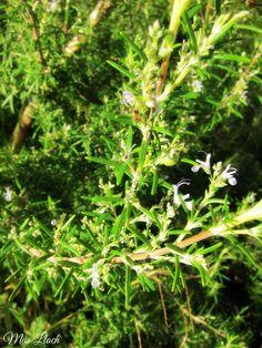 Romaní florit i d'olor increïble