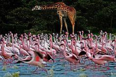 Naivasha, Kenya (© AFP PHOTO / Carl de Souza)