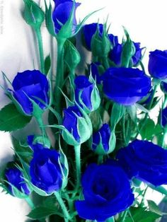 Beautiful Rose Flowers, Rare Flowers, Flowers Nature, Exotic Flowers, Amazing Flowers, Artificial Flowers And Plants, Love Rose, Blue Roses Wallpaper, Flower Phone Wallpaper