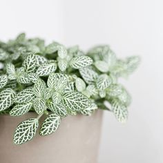 I love the delicate pattern on this plant's leaves. standing on a wooden shelf in guest bathroom. Close Up Photography, Wooden Shelves, Indoor Plants, House Plants, Plant Leaves, Bathrooms, Succulents, Shelf, Delicate