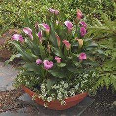 Lavender Calla Lily Patio Pot | Calbulbs.com Calla Lillies, Calla Lily, Green Garden, Garden Plants, Flowering Plants, Lily Bulbs, Container Plants, Flower Pots, Gardens