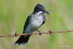 Some days you're the bird, some days you're the bug. Eastern Kingbird and dragon fly, USFWS Bear River Migratory Bird Refuge in Utah. Photo: Jennifer Bunker